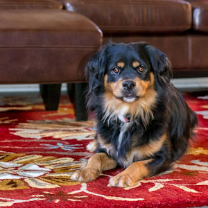 How To Get Dog Urine Out Of An Oriental Rug? | Pro Clean